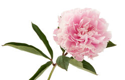 The pink peony Stock Images
