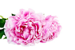 The pink peony on white background Isolated Royalty Free Stock Image