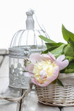 Pink peony on white vintage birdcage Stock Image