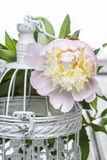 Pink peony on white vintage birdcage Stock Photography