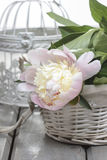 Pink peony in wicker basket on rustic wooden table. Royalty Free Stock Photo