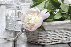 Pink peony in wicker basket on rustic wooden table. Royalty Free Stock Photography