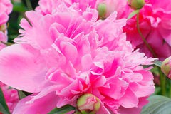 Pink peony. Wild summer pink peony in a garden Royalty Free Stock Photo