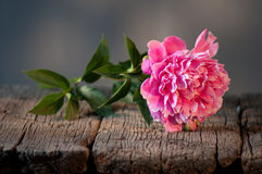Pink peony on a wooden table. Stock Photography