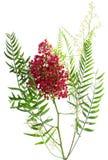 Pink peppercorn.  Peruvian Pepper Tree ( Schinus molle L.) Stock Photo