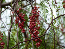 Pink peppercorn Royalty Free Stock Image