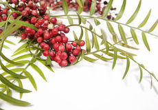 Pink Peppercorns on Branch. A sprig from a Peruvian Pepper (Schinus molle, also known as American pepper, Peruvian peppertree, escobilla, false pepper, molle del Royalty Free Stock Images