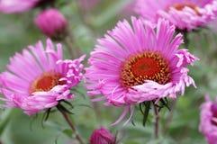Pink perennial aster Stock Image