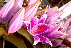 Pink Perfection lilies royalty free stock photo
