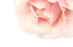 Pink perfume. Delicate pink rose, on white Royalty Free Stock Images