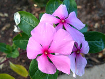 Pink periwinkle. Flower of a pink periwinkle Royalty Free Stock Image