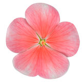 Pink Periwinkle Flower Isolated on White Royalty Free Stock Photo