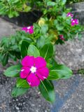 Pink periwinkle flowers Stock Image