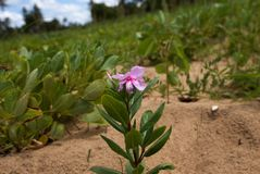 A pink periwinkle on a green, leafy stem Royalty Free Stock Photography