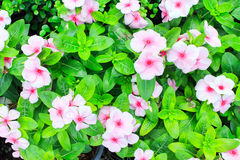Pink Periwinkle Stock Photos