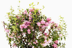 Pink pernettya mucronata Stock Photos