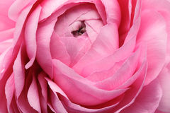 Pink Persian Buttercup Flower royalty free stock image