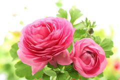 Pink Persian Buttercup Flower Stock Image