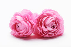 Pink Persian Buttercup Flower. Isolated on White Background royalty free stock photo