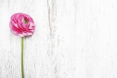 Pink persian buttercup flower (ranunculus) Stock Images