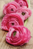 Pink persian buttercup flower (ranunculus) Royalty Free Stock Images