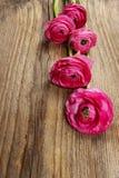 Pink persian buttercup flower (ranunculus) Stock Photography