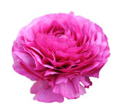 Pink persian buttercup flower on white Stock Photos