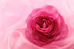 Pink persian buttercup flower royalty free stock images