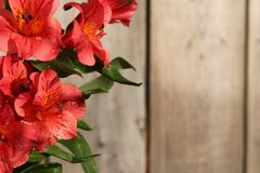 Pink Peruvian Lily on wooden background Stock Images