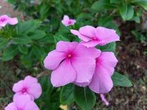 Pink perwinkle Royalty Free Stock Image