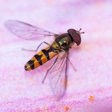 On A Pink Petal. A hoverfly sits on a pink lily petal royalty free stock photography