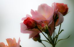 Pink, Petal, Floral, Bloom, Blossom Stock Photography