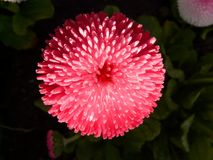Pink Petal Flower Royalty Free Stock Photography