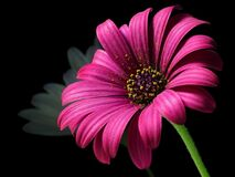 Pink Petal Flower Royalty Free Stock Image