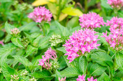 Pink petal flower of Egyptian starcluster and green leaves in garden Royalty Free Stock Images