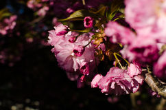 Pink Petal Flowers Close Up Photo Royalty Free Stock Photography