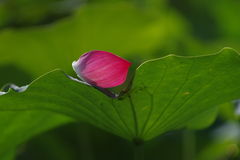 A pink petal of water lily flower on green leaf Royalty Free Stock Photo