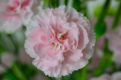 Pink Petaled Flower Royalty Free Stock Photos