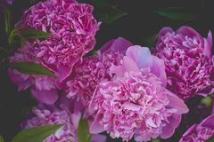 Pink Petaled Flower Royalty Free Stock Photo