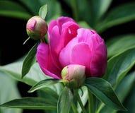 Pink Petaled Flower Stock Photo