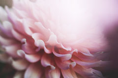 Pink Petaled Flower in Close Up Photography Royalty Free Stock Photography