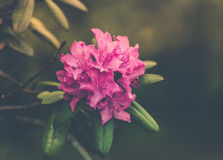 Pink Petaled Flower With Green Leaves Royalty Free Stock Photo