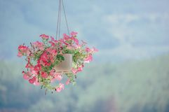Pink Petaled Flower Plant Inside White Hanging Pot Stock Images