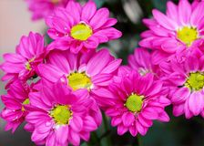 Pink Petaled Flowers royalty free stock images