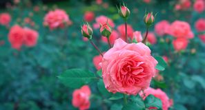 Pink Petaled Flowers stock photography