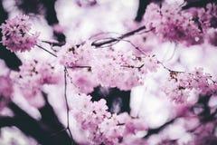 Pink Petaled Flowers Stock Image