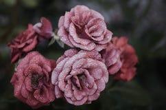 Pink Petaled Flowers Close Up Photography Stock Photos
