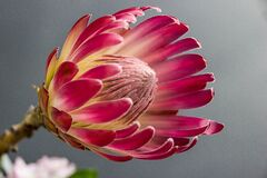 Pink Petalled Round Holed Flower Stock Image