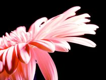 Pink petals Stock Photography