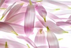 Pink petals Stock Photos
